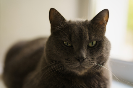 big gray cat sitting near window, close up portrait