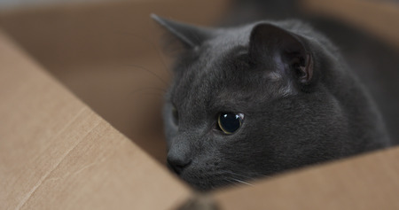 dilated pupils: big gray cat playing in cardboard box, 4k photo