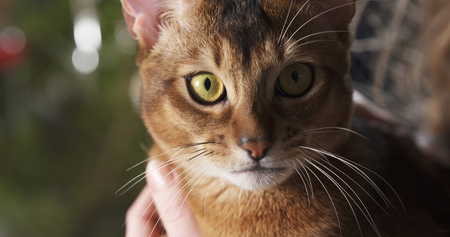 abyssinian cat sitting on knees and stroked by hand, 4k photo