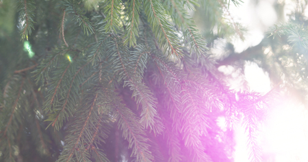 sways: closeup shot of green fir sways on wind in spring sunny morning with light leaks, 4k photo