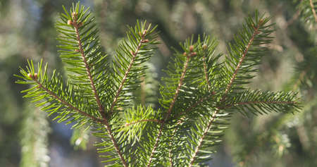 sways: closeup shot of green fir sways on wind in spring sunny morning, 4k photo