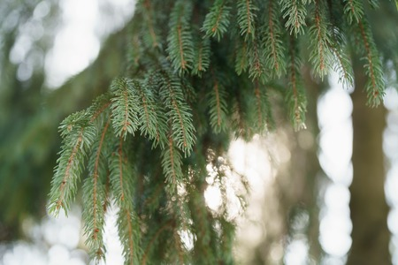 sways: closeup shot of green fir sways on wind in spring sunny morning with light leaks, shallow focus