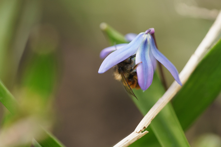 blue snowdrops in sunny spring day with bee, shallow focus Stock Photo