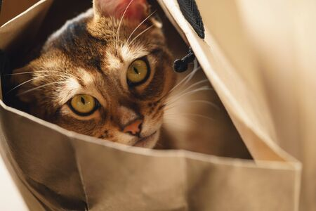young abyssinian cat in bag on table, shallow focus