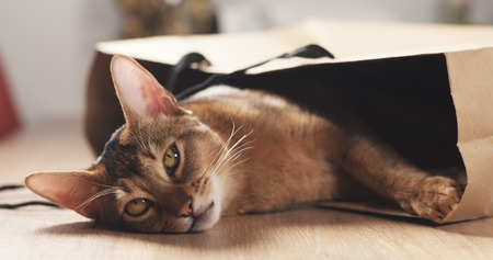 young abyssinian cat in bag on table, wide photo