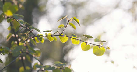 aspen leaf: young aspen leaves in spring day, wide photo