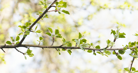apple tree branches in spring sunlight, wide photo Stock Photo