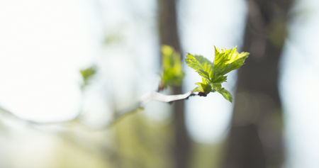 young hawthorn leaves in spring, wide photo