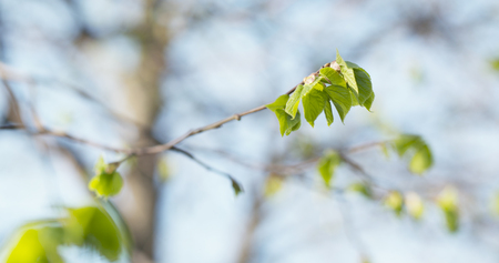 tilo: small linden branch with first leaves in spring day, wide photo Foto de archivo