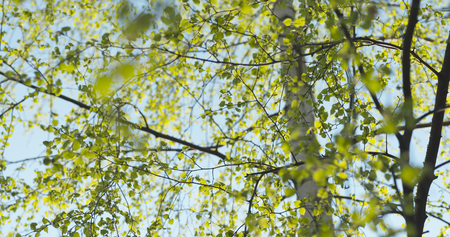 first day: first birch leaves in spring day, wide photo