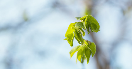 first day: small linden branch with first leaves in spring day, wide photo Stock Photo