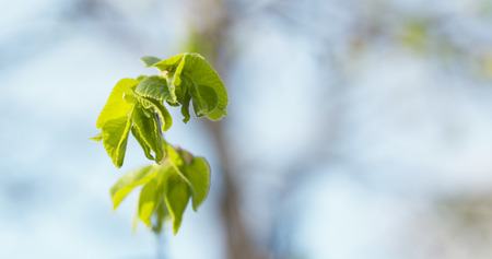 small linden branch with first leaves in spring day, wide photo Stock Photo