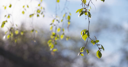sway: blossom birch tree in spring day, wide photo Stock Photo