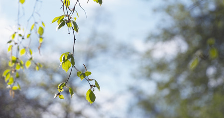 blossom birch tree in spring day, wide photo Stock Photo