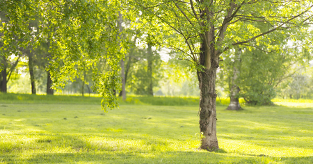 ash tree in sunny summer day in park