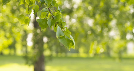 green linden leaves sways in the wind