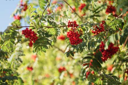 rowan berries on tree in sunny autumn day Stock Photo