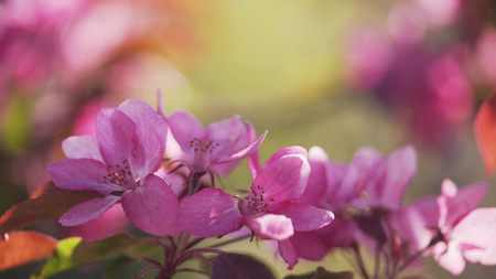 crab apple tree: bright purple apple flowers in sunny day Stock Photo