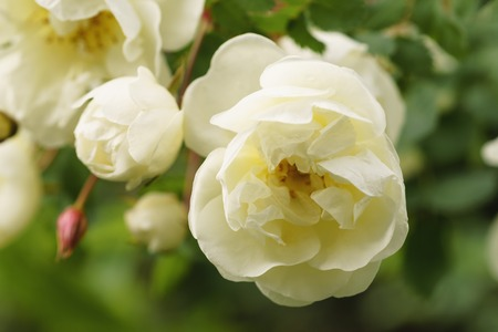 white flowers on briar rose bush, shallow focus Stock Photo