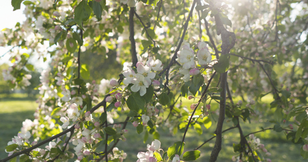 slow motion handheld pan shot of light pink apple tree blossom Stock Photo