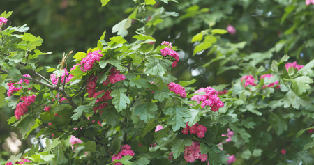 pink hawthorn flowers in summer day Stock Photo