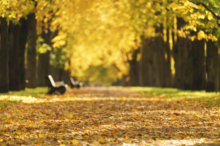 road autumnal: linden alley in town in sunny october morning Stock Photo