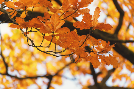 autumn oak tree with orange leaves,