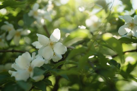 closeup shot of white jasmine flowers in sunny summer day Stock Photo
