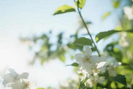 white jasmine flowers in sunny summer evening