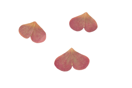 back side of detached purple oxalis heart shaped leaves isolated on white Stock Photo