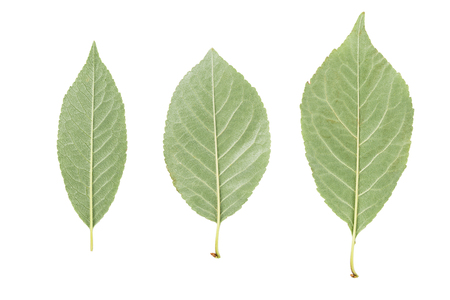 reverse: back side of three green leaves from fruit trees isolated on white Stock Photo