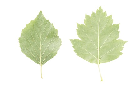 reverse: back side of two green leaves from linden and hawthorn trees isolated on white
