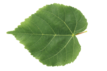 linden green leaf isolated on white