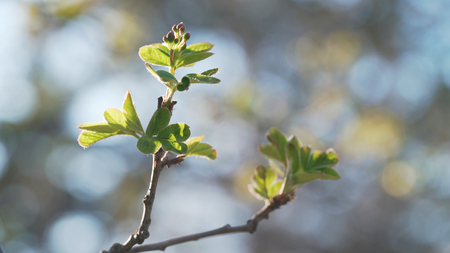 Handheld shot of spring buds and leaves in sunny morning closeup Stock Photo