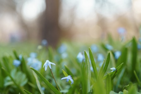 blue snowdrops on backyard meadow in spring morning