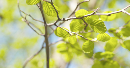 alder leaves in spring morning closeup