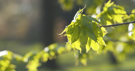 first leaves on maple tree Stock Photo