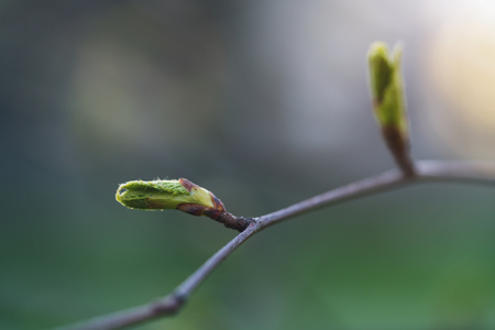 closeup of first spring leaves on tree