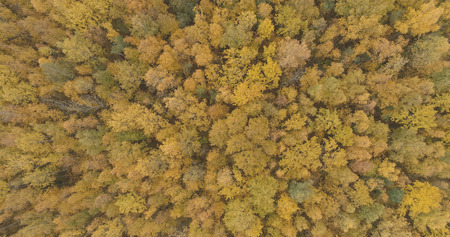 Aerial top view over yellow golden birch forest in autumn