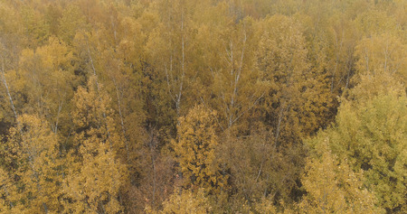 Aerial view over yellow golden birch forest in autumn, wide photo