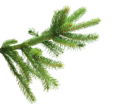 Fresh spruce green branch isolated on white background Imagens