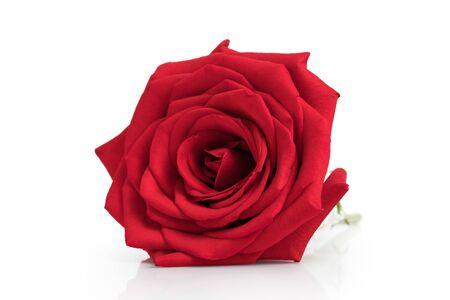 Rote Rose in weißem Hintergrund isoliert