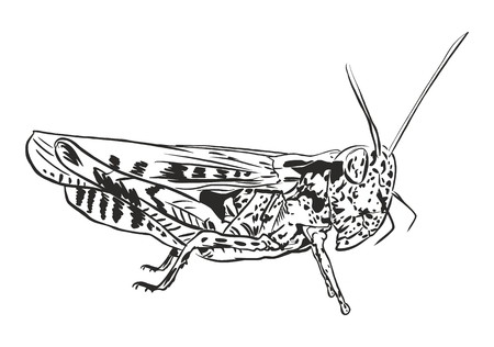 omnivorous: grasshopper locust drawn vector illustration curves black on a white background