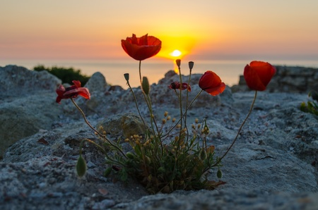 Poppies at sunset  Sunset, Sevastopol,Crimea Stock Photo