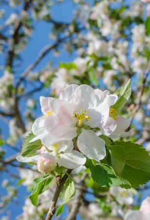 Spring apple on the morning photo