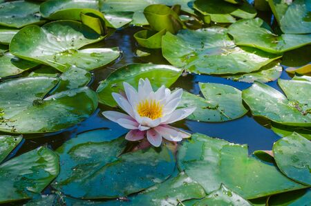 Lily in a pond Stock Photo