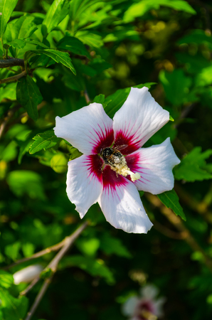 Pink hibiscus flower at dawn with Maybug.