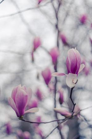 Magnolia flowers in Yalta. Pink magnolia flowers. Stock Photo