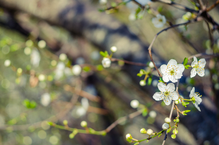 Cheery blossom flowers on spring day. Beauty flowers.
