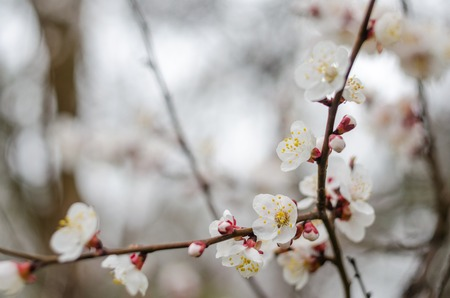 White tree flowers in spring. Spring flowers.